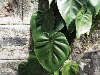 3 populaire hangplanten